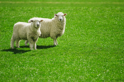 sheep in pasture, grass