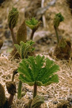 small dock-leaf
